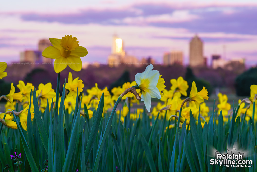 Single white and yellow daffodil at Dix Park