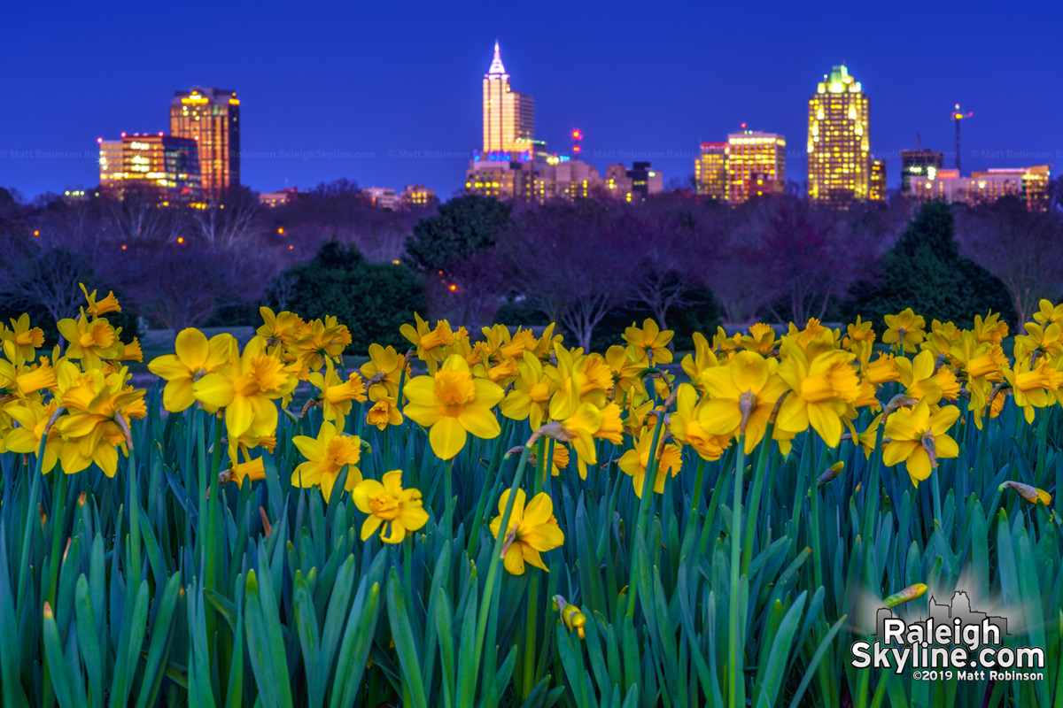 Dorothea Dix Park daffodils with the Raleigh Skyline at night