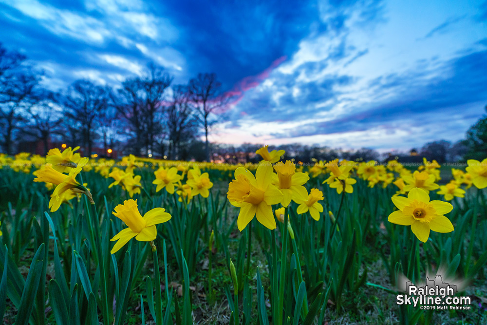 Daffodils at dusk