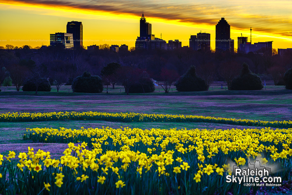 Pre-sunrise view of downtown Raleigh and thousand of daffodils