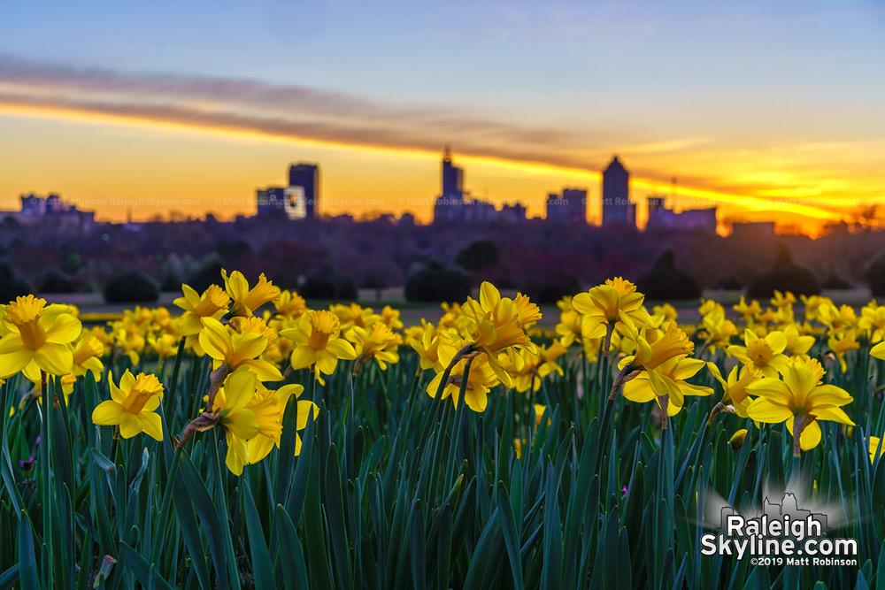 Daffodils before sunrise