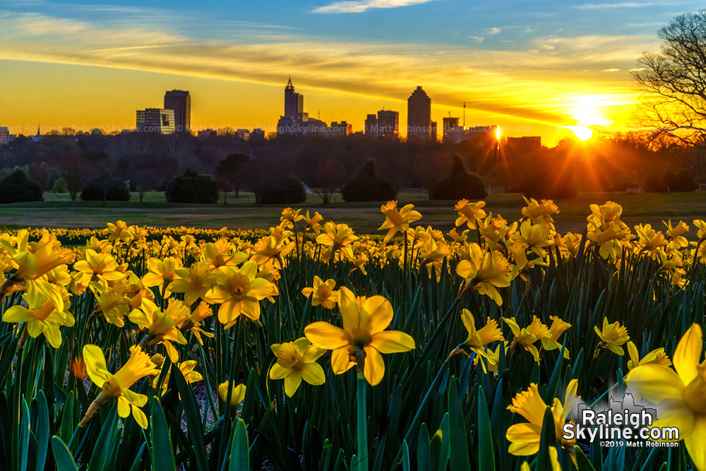 Dorothea Dix Park daffodils at sunrise with downtown Raleigh skyline