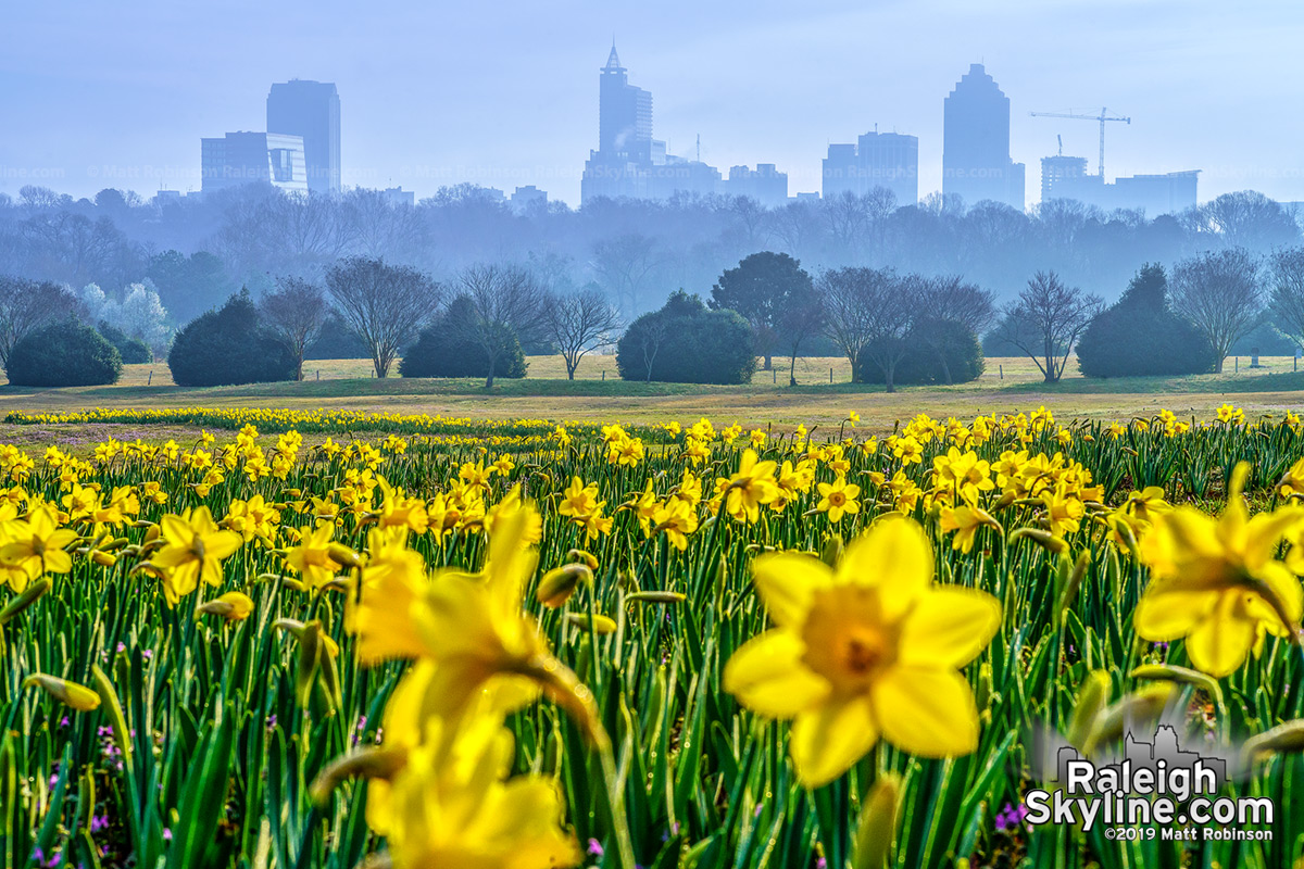 A misty sunrise morning in downtown Raleigh with daffoldils at Dix Park.