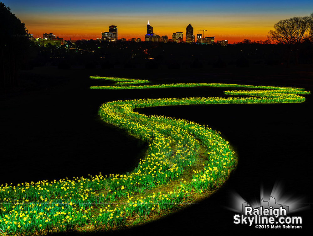 Painting the Raleigh daffodils with light before sunrise.