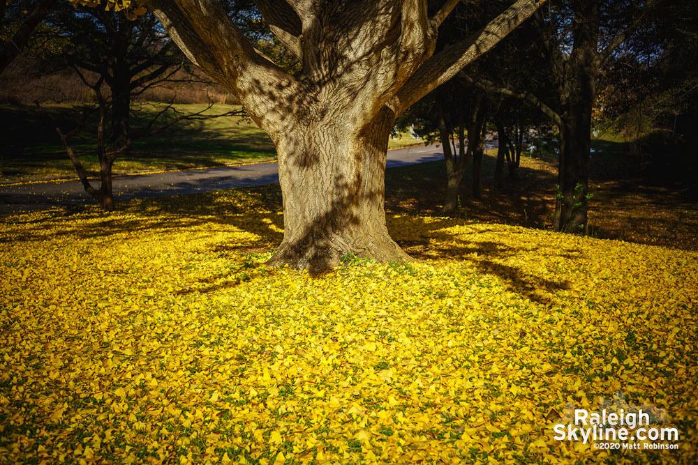 Gingko Tree at Dix Park