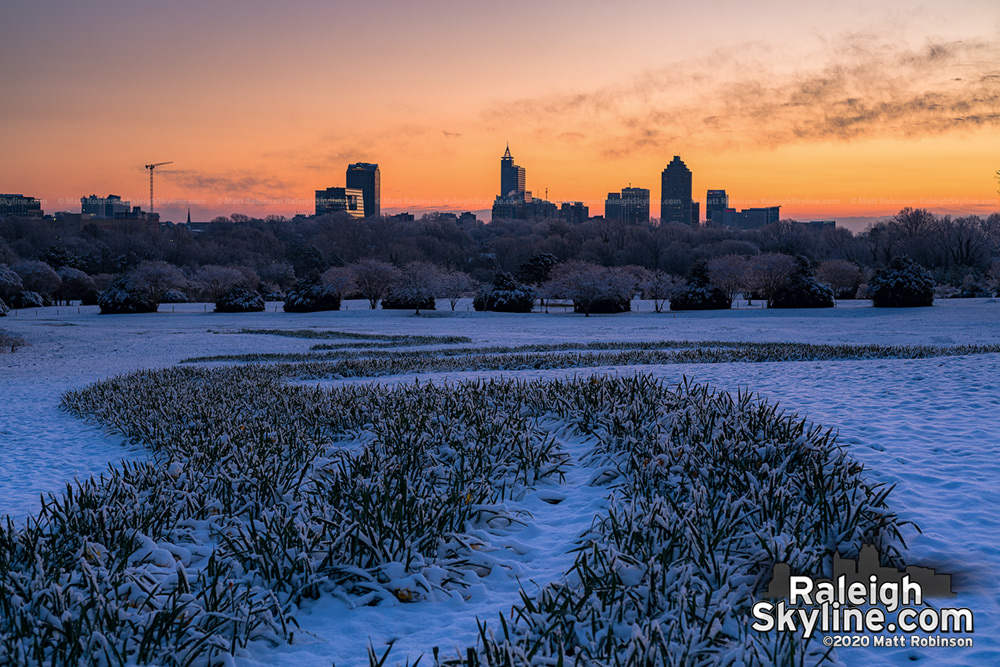 Snow covered daffoldills at Dix Park on February 21, 2020
