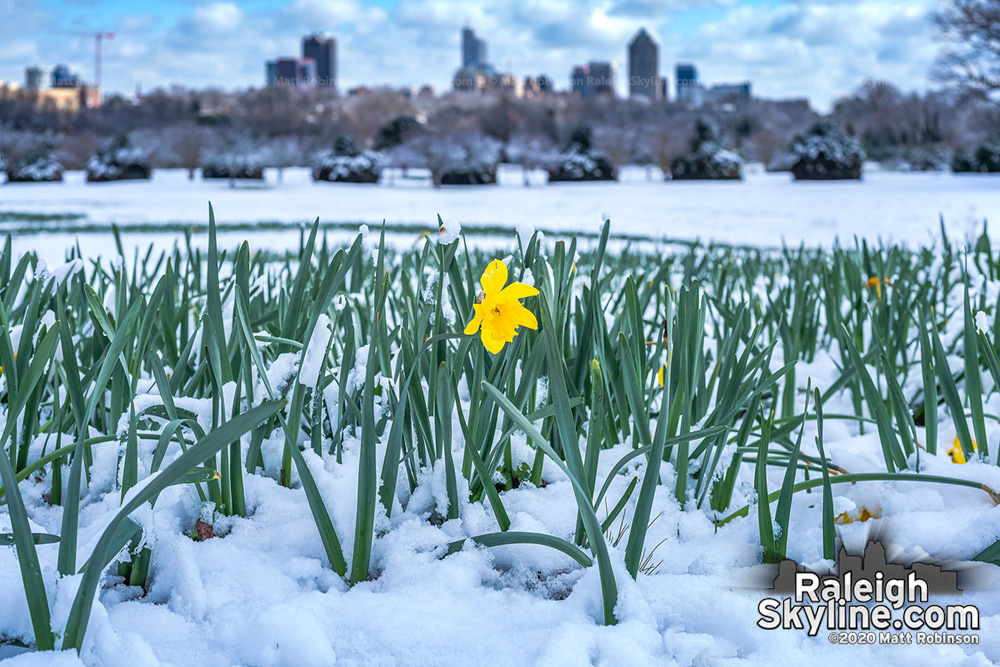A resilient daffodil remains upright in today's melting snow at Dix Park.