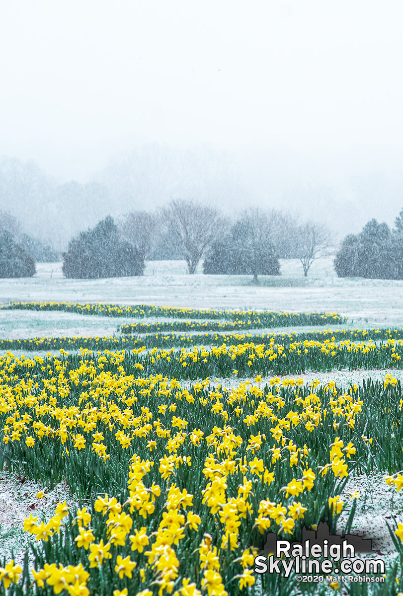 Snowy scene with bright yellow daffodils