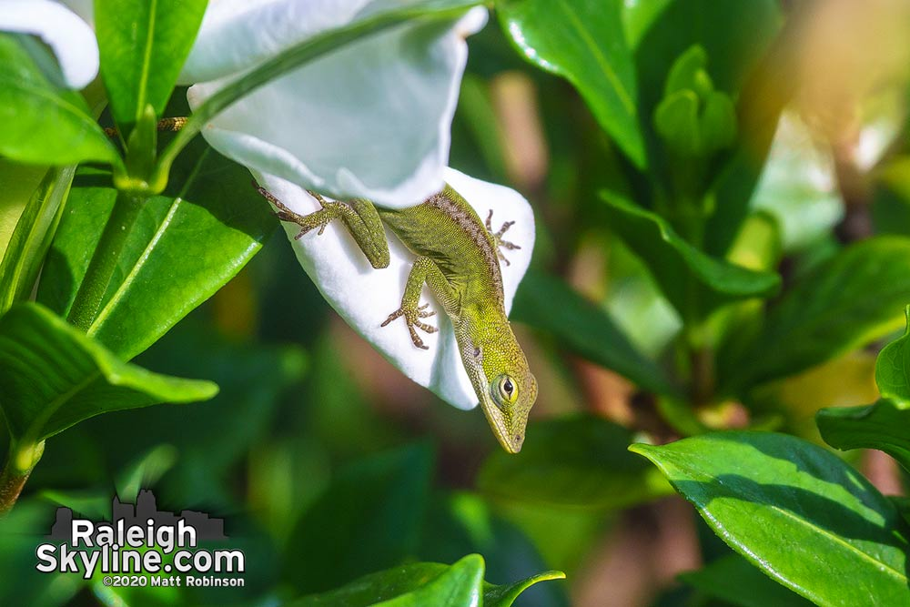 Baby Carolina anole on a backyard gardenia flower this morning.  Its body is only an inch long