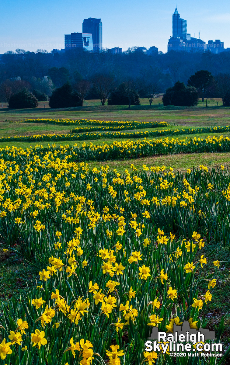 Daffoldils in bloom at Dorothea Dix Park