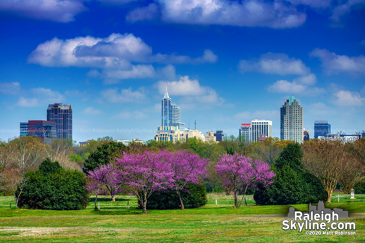 Blooming Redbud trees with downtown Raleigh on this first day of Spring, 2020