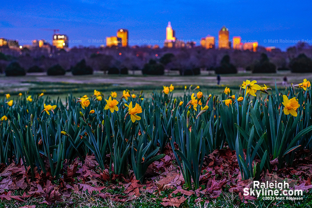 Sunset from Dix Park with the daffodils
