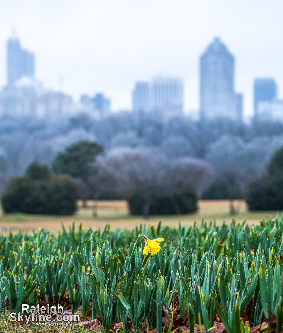 The first 2021 daffodil at Dix