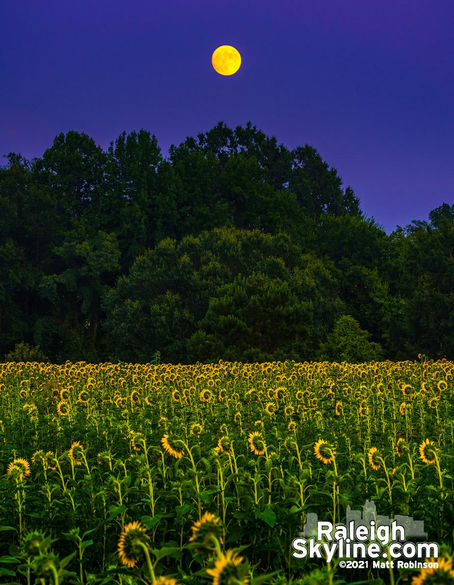 Orange moonrise over the Dix Park sunflowers