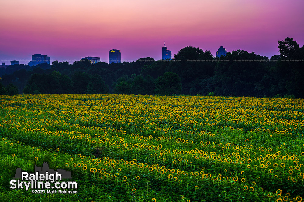 The Raleigh skyline rising over the sunflower fields at dawn