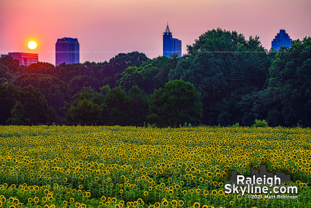 Sun rising over downtown Raleigh with the Sun flowers